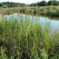 Plant form: Spartina cynosuroides. ~ By Robert Buchsbaum. ~ Copyright © 2020 Robert Buchsbaum. ~ rbuchsbaum[at]massaudubon.org
