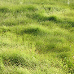 Plant form: Spartina patens. ~ By Marilee Lovit. ~ Copyright © 2021 Marilee Lovit. ~ lovitm[at]gmail.com