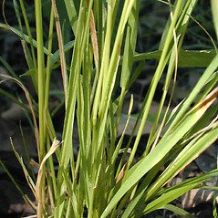 Leaves: Sphenopholis intermedia. ~ By John Hilty. ~ Copyright © 2021 John Hilty. ~ john[at]illinoiswildflowers.info ~ Illinois Wildflowers - www.illinoiswildflowers.info/index.htm