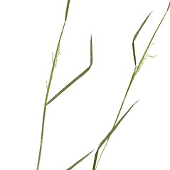 Leaves: Sphenopholis pensylvanica. ~ By Derick B. Poindexter. ~ Copyright © 2021 Derick B. Poindexter. ~ dpoindex[at]live.unc.edu ~ Vascular Flora of Alleghany County, NC - vascularflora.appstate.edu/