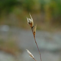 Spikelets: Sporobolus heterolepis. ~ By Arthur Haines. ~ Copyright © 2020. ~ arthurhaines[at]wildblue.net