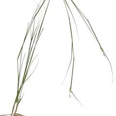 Plant form: Sporobolus vaginiflorus. ~ By Anna Gardner. ~ Copyright © 2020. ~ dlewis[at]ias.edu ~ Ada Hayden Herbarium - Iowa State U.