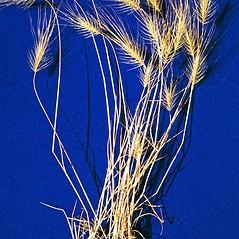 Plant form: Taeniatherum caput-medusae. ~ By Steve Dewey. ~ Copyright © 2020 CC BY-NC 3.0. ~  ~ Bugwood - www.bugwood.org/