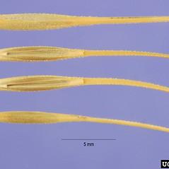 Spikelets: Taeniatherum caput-medusae. ~ By Steve Hurst. ~  Public Domain. ~  ~ USDA-NRCS Plants Database - plants.usda.gov/java/