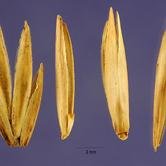 Spikelets: Thinopyrum pycnanthum. ~ By Jose Hernandez. ~  Public Domain. ~  ~ USDA-NRCS Plants Database - plants.usda.gov/java/