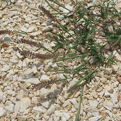 Plant form: Tragus racemosus. ~ By Luigi Rignanese. ~ Copyright © 2020. ~ luirig[at]gmail.com ~ www.luirig.altervista.org