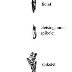 Spikelets: Triplasis purpurea. ~ By USDA-NRCS PLANTS Database. ~  Public Domain. ~ None needed ~ USDA-NRCS Plants Database - plants.usda.gov/java/