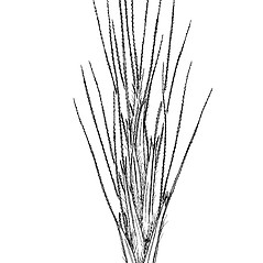 Spikelets: Triraphis mollis. ~ By Mary Barkworth. ~ Copyright © 2020 Mary Barkworth. ~ Mary.Barkworth[at]usu.edu ~ Manual of Grasses for North America