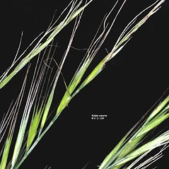Spikelets: Vulpia myuros. ~ By Gerry Carr. ~ Copyright © 2020 Gerry Carr. ~ gdcarr[at]comcast.net ~ Oregon Flora Image Project - www.botany.hawaii.edu/faculty/carr/ofp/ofp_index.htm