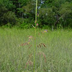 Inflorescences: Zizania palustris. ~ By Arthur Haines. ~ Copyright © 2021 Arthur Haines. ~ arthur.d.haines[at]gmail.com