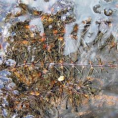 Plant form: Podostemum ceratophyllum. ~ By Arthur Haines. ~ Copyright © 2020. ~ arthurhaines[at]wildblue.net