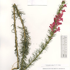 Plant form: Ipomopsis rubra. ~ By The Herbarium of The Morton Arboretum (MOR). ~ Copyright © 2020 The Morton Arboretum. ~ Ed Hedborn, The Morton Arboretum ~ The Herbarium of The Morton Arboretum