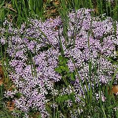 Plant form: Phlox bifida. ~ By Paul S. Drobot. ~ Copyright © 2019 Paul S. Drobot. ~ www.plantstogrow.com, www.plantstockphotos.com ~ Robert W. Freckmann Herbarium, U. of Wisconsin-Stevens Point