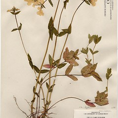 Plant form: Phlox divaricata. ~ By Arthur Haines. ~ Copyright © 2019. ~ arthurhaines[at]wildblue.net