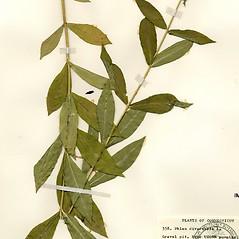 Leaves: Phlox divaricata. ~ By Arthur Haines. ~ Copyright © 2019. ~ arthurhaines[at]wildblue.net