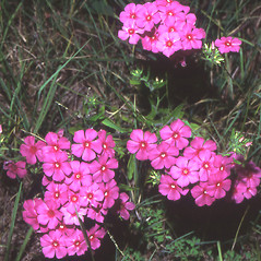 Plant form: Phlox drummondii. ~ By Robert Buchsbaum. ~ Copyright © 2020 Robert Buchsbaum. ~ rbuchsbaum[at]massaudubon.org