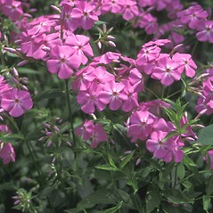 Flowers: Phlox maculata. ~ By Dorothy Long. ~ Copyright © 2020 New England Wild Flower Society. ~ Image Request, images[at]newenglandwild.org