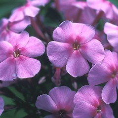 Flowers: Phlox paniculata. ~ By John Lynch. ~ Copyright © 2021 New England Wild Flower Society. ~ Image Request, images[at]newenglandwild.org