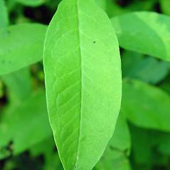 Leaves: Phlox paniculata. ~ By Arthur Haines. ~ Copyright © 2021 Arthur Haines. ~ arthur.d.haines[at]gmail.com