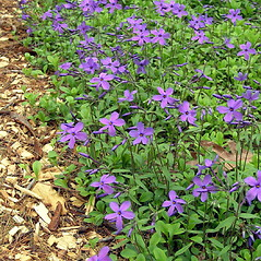 Plant form: Phlox stolonifera. ~ By Bruce Patterson. ~ Copyright © 2020 Bruce Patterson. ~ foxpatterson[at]comcast.net