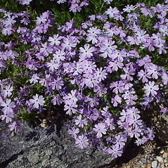 Flowers: Phlox subulata. ~ By Arthur Haines. ~ Copyright © 2021. ~ arthurhaines[at]wildblue.net