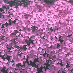 Flowers: Phlox subulata. ~ By Dorothy Long. ~ Copyright © 2021 New England Wild Flower Society. ~ Image Request, images[at]newenglandwild.org