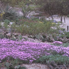 Plant form: Phlox subulata. ~ By Dorothy Long. ~ Copyright © 2020 New England Wild Flower Society. ~ Image Request, images[at]newenglandwild.org