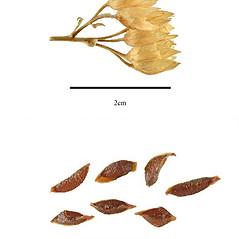 Fruits: Polemonium vanbruntiae. ~ By J.H. Kirkbride, C.R. Gunn, and M.J. Dallwitz. ~  Public Domain. ~  ~ nt.ars-grin.gov/sbmlweb/OnlineResources/SeedsFruits/rptSeedsFruitsFamData.cfm?thisFamily=Orchidaceae