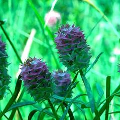 Flowers: Polygala cruciata. ~ By Arthur Haines. ~ Copyright © 2021. ~ arthurhaines[at]wildblue.net