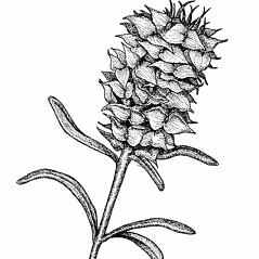 Flowers: Polygala cruciata. ~ By Elizabeth Farnsworth. ~ Copyright © 2021 New England Wild Flower Society. ~ Image Request, images[at]newenglandwild.org