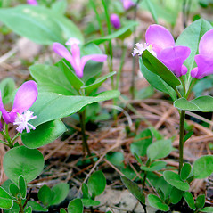 Flowers: Polygala paucifolia. ~ By Dawn Dentzer. ~ Copyright © 2020. ~ dawndentzer[at]gmail.com