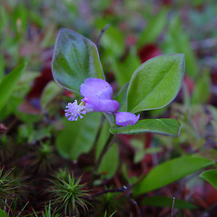 Plant form: Polygala paucifolia. ~ By Arthur Haines. ~ Copyright © 2020. ~ arthurhaines[at]wildblue.net