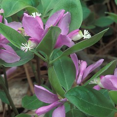 Leaves: Polygala paucifolia. ~ By William Cullina. ~ Copyright © 2021 William Cullina. ~ bill[at]williamcullina.com