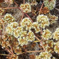 Flowers: Chorizanthe pungens. ~ By Zoya Akulova. ~ Copyright © 2019 CC BY-NC 3.0. ~ zakulova[at]yahoo.com ~ CalPhotos - calphotos.berkeley.edu/flora/
