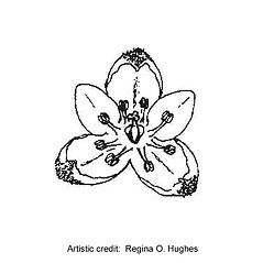 Flowers: Fallopia convolvulus. ~ By Regina O. Hughes. ~  Public Domain. ~  ~ Reed, C.F. 1970. Selected weeds of the United States. USDA Agric. Res. Ser. Agric. Handbook 336