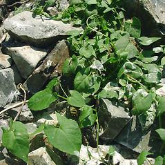 Leaves: Fallopia convolvulus. ~ By Glen Mittelhauser. ~ Copyright © 2021 Glen Mittelhauser. ~ www.mainenaturalhistory.org