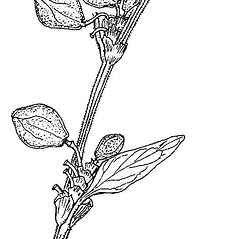 Stems: Fallopia convolvulus. ~ By Regina O. Hughes. ~  Public Domain. ~  ~ Reed, C.F. 1970. Selected weeds of the United States. USDA Agric. Res. Ser. Agric. Handbook 336