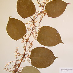 Leaves: Fallopia japonica. ~ By Arthur Haines. ~ Copyright © 2021. ~ arthurhaines[at]wildblue.net
