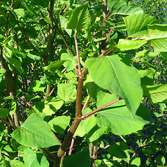 Leaves: Fallopia japonica. ~ By Donna Kausen. ~ Copyright © 2021 Donna Kausen. ~ 33 Bears Den, Addison, ME 04606