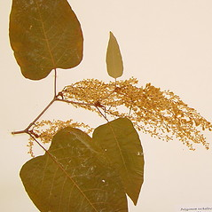 Plant form: Fallopia sachalinensis. ~ By Arthur Haines. ~ Copyright © 2021. ~ arthurhaines[at]wildblue.net