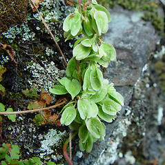 Fruits: Fallopia scandens. ~ By Arthur Haines. ~ Copyright © 2020. ~ arthurhaines[at]wildblue.net