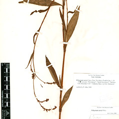 Plant form: Persicaria careyi. ~ By William and Linda Steere and the C.V. Starr Virtual Herbarium. ~ Copyright © 2020 William and Linda Steere and the C.V. Starr Virtual Herbarium. ~ Barbara Thiers, Director; bthiers[at]nybg.org ~ C.V. Starr Herbarium - NY Botanical Gardens