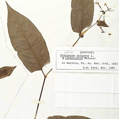 Leaves: Persicaria chinensis. ~ By William and Linda Steere and the C.V. Starr Virtual Herbarium. ~ Copyright © 2020 William and Linda Steere and the C.V. Starr Virtual Herbarium. ~ Barbara Thiers, Director; bthiers[at]nybg.org ~ C.V. Starr Herbarium - NY Botanical Gardens