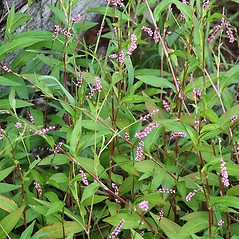 Plant form: Persicaria longiseta. ~ By Arieh Tal. ~ Copyright © 2021 Arieh Tal. ~ http://botphoto.com/ ~ Arieh Tal - botphoto.com
