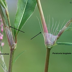 Comparison: Persicaria longiseta. ~ By Arieh Tal. ~ Copyright © 2021 Arieh Tal. ~ http://botphoto.com/ ~ Arieh Tal - botphoto.com