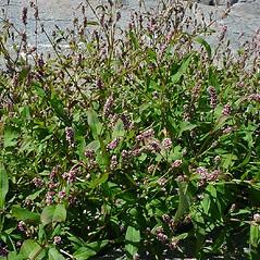Plant form: Persicaria maculosa. ~ By Glen Mittelhauser. ~ Copyright © 2019 Glen Mittelhauser. ~ www.mainenaturalhistory.org