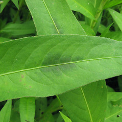 Leaves: Persicaria maculosa. ~ By Donna Kausen. ~ Copyright © 2021 Donna Kausen. ~ 33 Bears Den, Addison, ME 04606