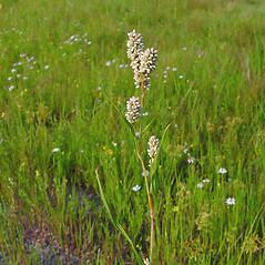 Flowers: Persicaria pensylvanica. ~ By Arthur Haines. ~ Copyright © 2021. ~ arthurhaines[at]wildblue.net
