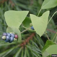Fruits: Persicaria perfoliata. ~ By Leslie Mehrhoff. ~ Copyright © 2020 CC BY-NC 3.0. ~  ~ Bugwood - www.bugwood.org/