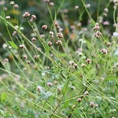 Plant form: Persicaria sagittata. ~ By Arieh Tal. ~ Copyright © 2020 Arieh Tal. ~ http://botphoto.com/ ~ Arieh Tal - botphoto.com
